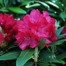 Alppiruusu 'Royal Red'